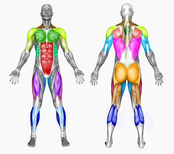 grupos-musculares.jpg